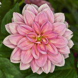 Pink Dahlia flower closeup Royalty Free Stock Photography
