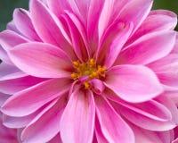 Pink Dahlia flower closeup Royalty Free Stock Photography
