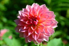Pink Dahlia flower closeup Royalty Free Stock Photos
