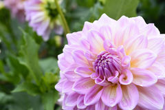 The pink dahlia flower Stock Photos