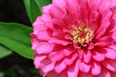 Pink Dahlia Flower Closeup in Sunlight. Wallpaper Background Stock Photo
