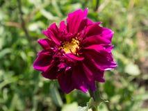 Pink dahlia flower Stock Photography