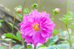 Pink dahlia flower with dew. After rainy Royalty Free Stock Image
