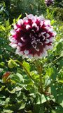 Pink Dahlia is a flower, is famous for dazzling beauty, excites passion and pushes on mad acts. Dark Burgundy with white tips of petals Dahlia is a flower stock photography