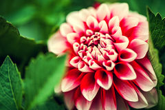 Pink Dahlia flower and fresh green leaves Stock Images