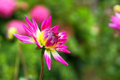 Pink dahlia flower in garden Royalty Free Stock Images
