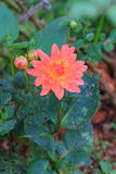 Pink Dahlia flower Stock Photos