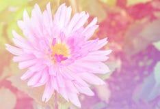 Pink dahlia flower Royalty Free Stock Photos