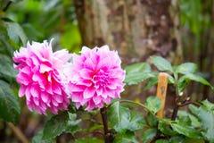 Pink Dahlia flower Stock Photo