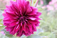 Pink dahlia flower in the garden. Close up of a beautiful summer bloom Royalty Free Stock Image
