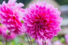 Pink dahlia flower in the garden Royalty Free Stock Photos