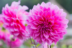 Pink dahlia flower in the garden Stock Images