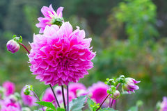 Pink dahlia flower in the garden Stock Photos