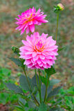 Pink dahlia flower in the garden Royalty Free Stock Photography