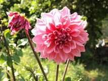Pink dahlia flower Royalty Free Stock Images