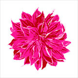 Pink dahlia flower illustration, vector  Royalty Free Stock Image