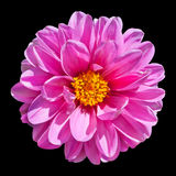 Pink Dahlia Flower Isolated on Black Background. Beautiful Pink Dahlia Flower with Yellow Center  Isolated on Black Background Stock Image