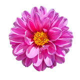 Pink Dahlia Flower Isolated on White. Beautiful Pink Dahlia Flower with Yellow Center  Isolated on White Background Stock Photo