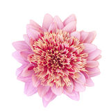 Pink dahlia flower. Isolated on a white Stock Image