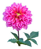 Pink dahlia flower isolated Stock Image