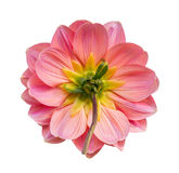 Pink dahlia flower isolated Royalty Free Stock Photography