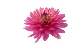 Pink dahlia flower Stock Photography
