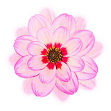 Pink dahlia Flower Isolated on White Background,designed as post Stock Photo