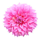 Pink dahlia flower isolated on white background. Vivid pink dahlia flower isolated on white background stock image
