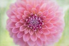 Pink dahlia flower macro Royalty Free Stock Photo