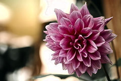 Pink Dahlia Flower. Picture of a Pink Dahlia Flower royalty free stock photography