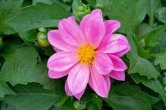 Pink Dahlia flower. Closeup photography Stock Photo