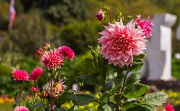 Pink dahlia flower. In the garden natural background blur Stock Photography