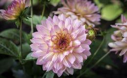 Pink Dahlia. Flower in Salzburg Stock Photo