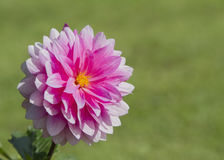 Pink dahlia flower. Single pink dahlia flower with grass background Stock Photography