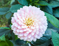 Pink dahlia flower Royalty Free Stock Photography