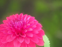 Pink dahlia flower, soft focus royalty free stock image