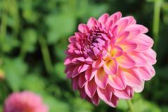Pink dahlia flower pink suffusion Royalty Free Stock Images