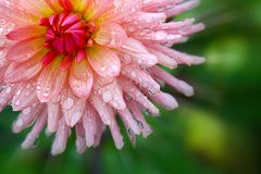 Pink dahlia  flower. Royalty Free Stock Photo