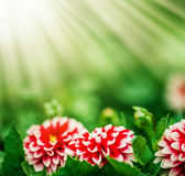 Pink Dahlia flower and sun lights Royalty Free Stock Image