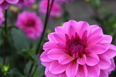 Pink dahlia flower vicus beda Stock Photography