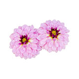 Pink dahlia flower with water drops isolated Royalty Free Stock Image