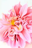 Pink dahlia flower  on white Royalty Free Stock Photos
