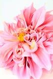 Pink dahlia flower  on white Royalty Free Stock Photos