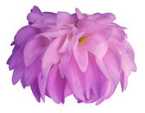 Pink Dahlia flower, white  background isolated  with clipping path. Closeup.  with no shadows. for design. side view. Royalty Free Stock Image