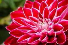 Pink dahlia flower with white details macro photo Royalty Free Stock Images