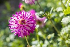 Pink Dahlia Flower Royalty Free Stock Image