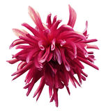 Pink dahlia flower  on  white isolated background with clipping path  no shadows. Closeup. Stock Photography