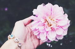 Pink dahlia flower in woman's hand. Pink flower in woman's hand with bracelet Royalty Free Stock Photos