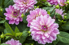 Pink dahlia flowers Stock Photography