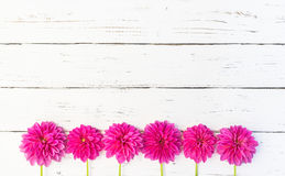 Pink Dahlia Flowers Background. Beautiful pink dahlia flowers border over white wood background with copy space Stock Images